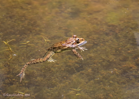 12_bullfrog