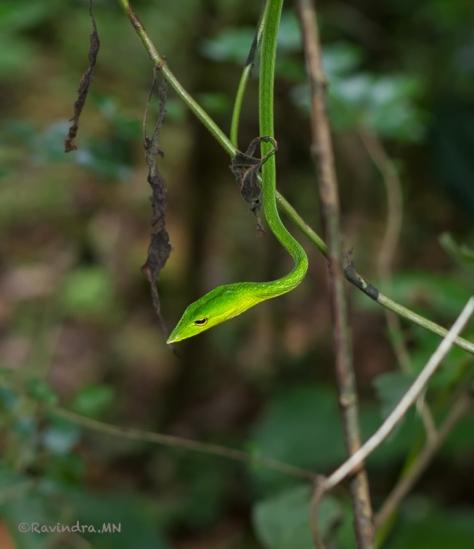 3_green_vine_snake