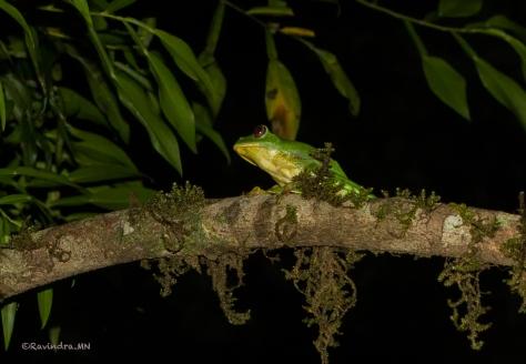 4_Malabar_gliding_frog