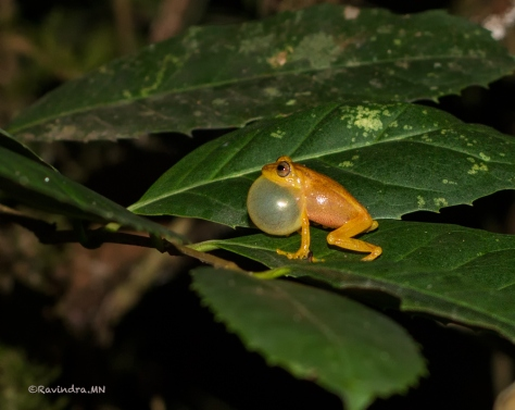 6_yellowbush_frog