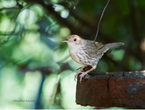Puff throated babbler