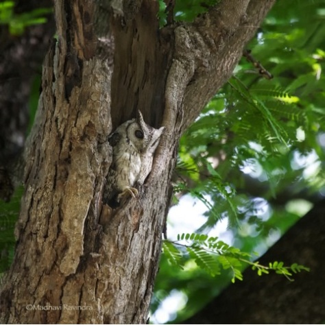 Scops owl2