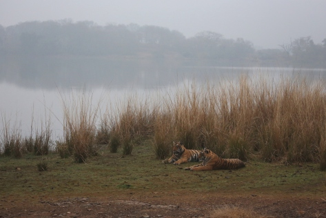 Ranthambore Day 1 AM 122