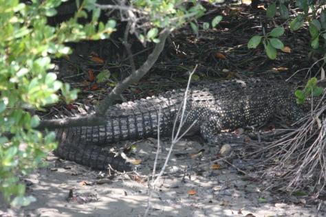 Estuarine croc