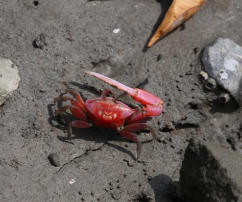 Fiddler crab 4