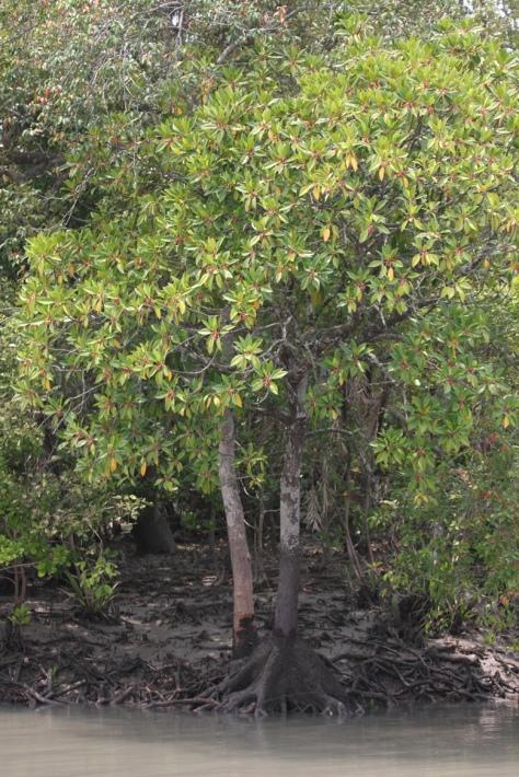 Kankra buttress roots