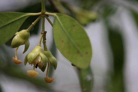 Kewra flowers