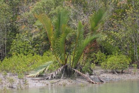 Nypa palm