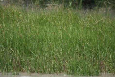 Paddy grass or Mangrove grass