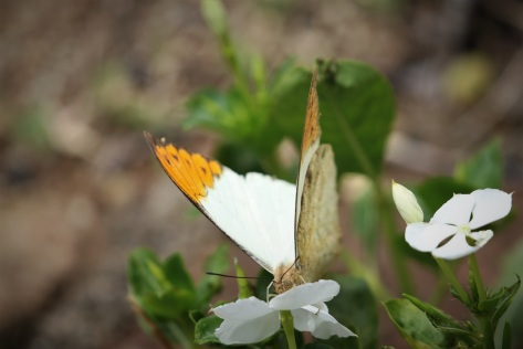 Great orange-tip