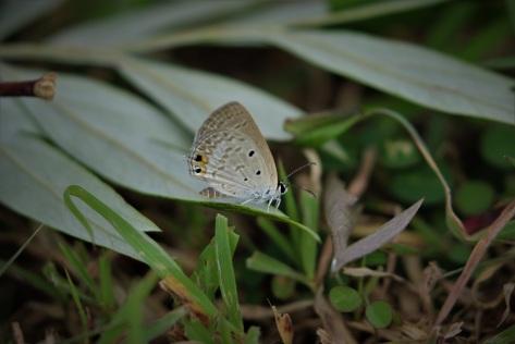 Oriental Gram Blue