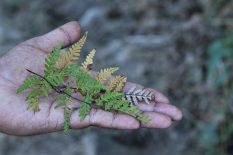 """Tattoo fern"". Possibly Pteridium sp. Leaves a delightful white imprint on the skin."